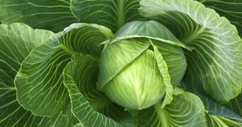 Giảm đau khớp bằng bắp cải xanh.